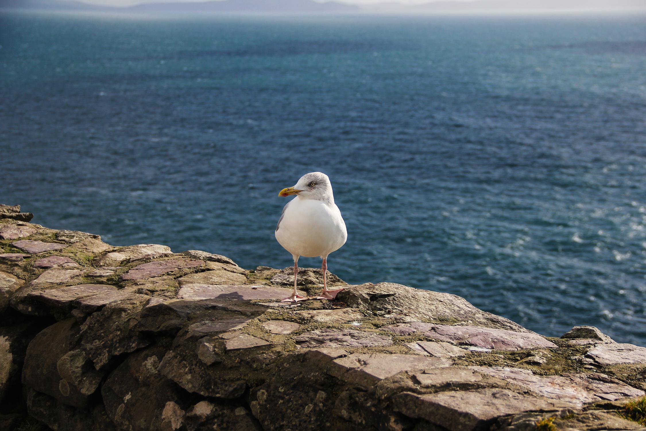 Sea gull sitting on rock wall, Ireland | St. Louis Photos