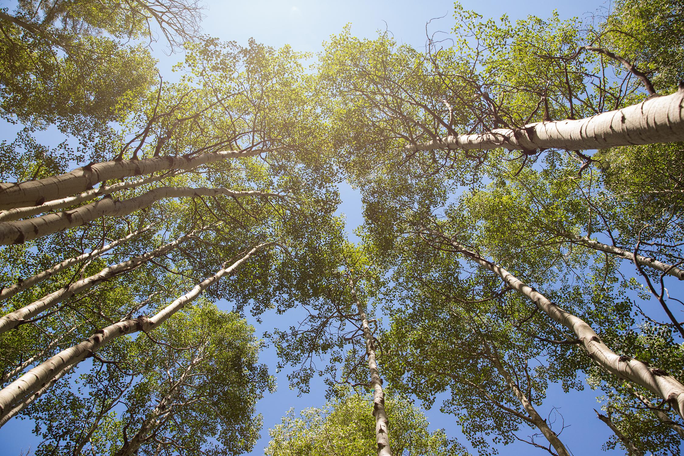 Sun shining through clump of aspen trees | St. Louis Photos