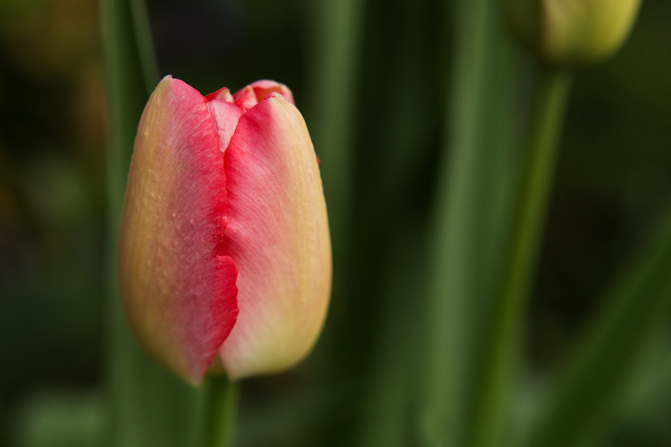 Close up shot of yellow and pink tulip | St. Louis Photography